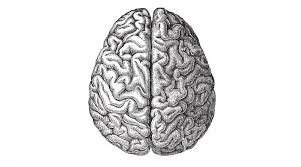 evolution of the human brain stories yourgenome org