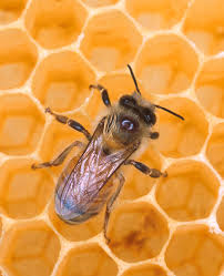 scientists publish analysis of honey bee genome national
