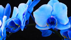 blue orchid flower blue sapphire orchid