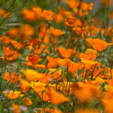 California Poppy Peaceful Valley Poppy Seeds California Golden Groworganic Com