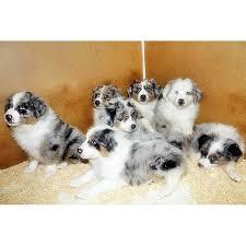 australian shepherd welpen 6 monate 16 besten australian shepherd puppies for sale bilder auf