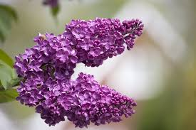 Lilac Flower by Lilac Tree Blossom Flowers Free Stock Photo Public Domain Pictures