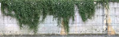concrete wall with climbing plants texture horizontal seamless 20817