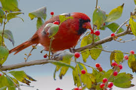 winter berries for birds the national wildlife federation