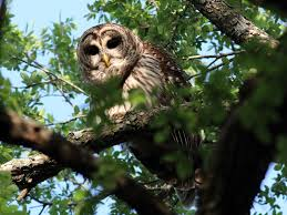 dallas trinity trails barred owls troubadours of the trees