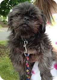 affenpinscher vs yorkshire terrier ramie adopted dog naugatuck ct shih tzu affenpinscher mix