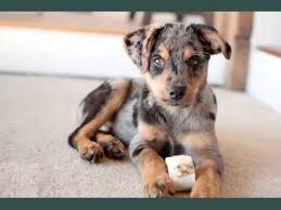 5 month old mini australian shepherd australian shepherd mix puppies set of dogs u0026 dog breed picture