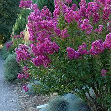trees with pink flowers flowering trees dennis 7 dees
