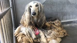 afghan hound times afghan hounds seized in phelan investigation available for