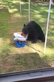 bear eats birthday cake backyard video people com