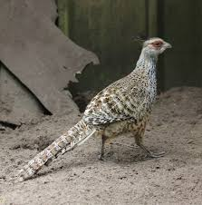 cheer pheasant catreus wallichi lacks the color and brilliance