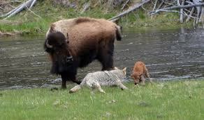 bison mom protects newborn calf from coyote attack in yellowstone