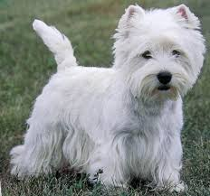images of westie hair cuts west highland terrier westie dog breed small dog petmania
