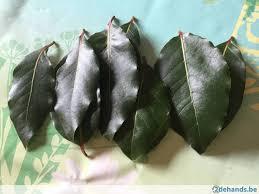 laurier cuisine feuilles fraîches de laurier cuisine ou même branche te