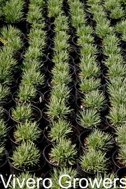 wholesale native plants wholesale nursery landscape plants trees and shrubs