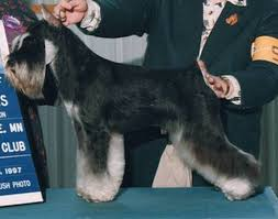 schnauzer hair cut step by step grooming the schnauzer