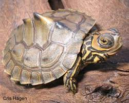 map turtle species profile barbour s map turtle graptemys barbouri srel