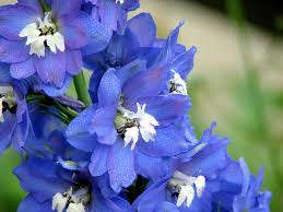 delphinium flower blue delphinium flower digital by bonita hensley
