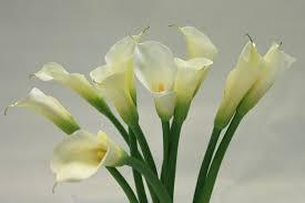 cala lillies calla lilies flowers solidaria garden