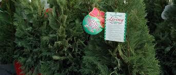 choosing a live christmas tree growingagreenerworld com