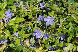 bc native plants common periwinkle invasive species council of british columbia