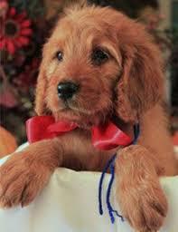 goldendoodle puppy virginia acres golden doodle puppies brownie