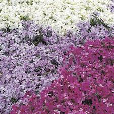 low maintenance ground covers that suppress weeds creeping phlox