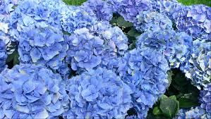 blue flowers send blue flowers london flower station