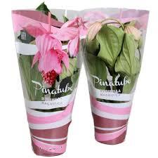 K He Rosa Kaufen Medinilla Kaufen Florastore