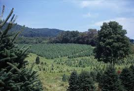 christmas tree farms near chicago christmas tree nordmann fir