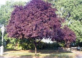 plum tree ornamental purple leaf plum tree pic 21 biz