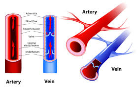 Anatomy And Physiology Place Human Anatomy Diagram Veins Function Biology And Health Focus