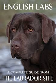 english labrador retrievers love those big heads labbies