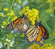 container gardening ideas grow milkweed for monarchs container