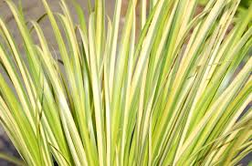 White Flag With Green Leaves How To Grow Ogon Golden Variegated Sweet Flag Grass