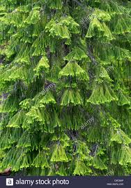 douglas fir tree new growth on douglas fir tree rogue river national forest