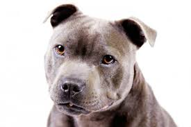 affenpinscher venta mexico staffordshire bull terrier dog breed information american kennel