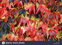 parthenocissus tricuspidata boston ivy red autumn autumnal