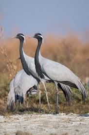 demoiselle crane wikipedia