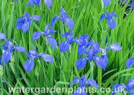 native uk pond plants water irises water garden plants