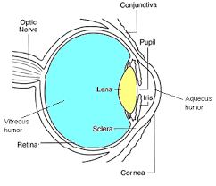What Structure Of The Eye Focuses Light On The Retina The Eye
