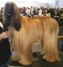 afghan hound lady and the tramp afghan hound breed information history health pictures and more