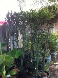 Laurel Topiary - cheap sweet bay laurel find sweet bay laurel deals on line at