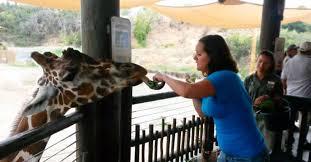 Zoo Lights Salt Lake City by Feeding Giraffes At Hogle Zoo U2013 Mix 105 1