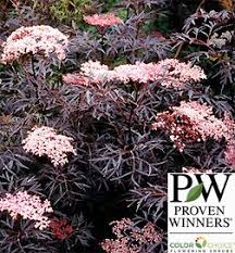 Flowering Shrubs For Partial Sun - best 25 sambucus black lace ideas on pinterest elderberry shrub