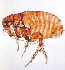 Bed Bugs On Cats Cat Fleas Life Cycle Eggs Bites