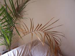 Indore Plants My Palm Tree Is Doing Really Miserably How Can I Save It Or Is