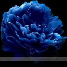 aliexpress buy luo yang blue tree peony