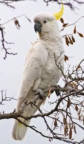 513 best australian parrots and birds images on pinterest