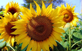 sunflower wallpapers 19 sunflower desktop wallpapers wppsource